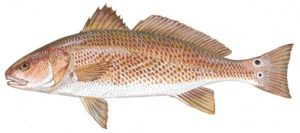 Red Drum, Tightline, Outer Banks, NC